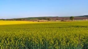 Canola Feld Biologische Brennstoffe Fokus in Richtung zu den niedrigeren und mittleren Zahlen Stockbild