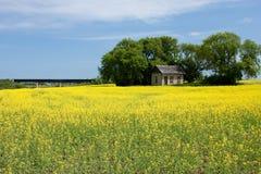 Canola Feld mit altem Bauernhof-Haus Stockbilder