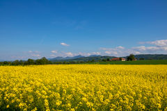 Canola-Feld, Sommer und blauer Himmel Lizenzfreie Stockfotos