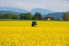 Canola-Feld, Sommer und blauer Himmel Stockfotografie