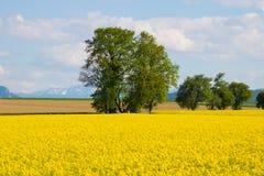 Canola-Feld, Sommer und blauer Himmel Stockfoto