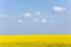 Canola Feld unter blauem Himmel Stockfoto