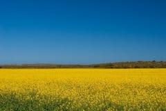 Canola Felder in der Blüte Stockfotografie