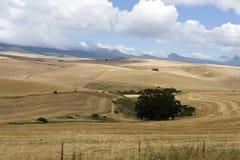 Canola Felder im westlichen Umhang lizenzfreie stockbilder