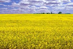 Canola Field. Landscape of a canola field on a partly cloudy day with lots of room for copyspace Royalty Free Stock Photo