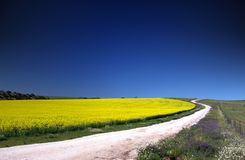 Canola Field. Path through yellow Canola Field Royalty Free Stock Photography