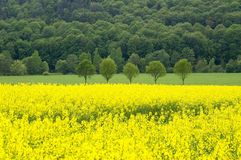 Canola field. A blooming canola field with single spring trees and a forest in the background. With space for copy stock image