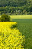 Canola field. A blooming canola field with single spring trees and a forest in the background. With space for copy royalty free stock image