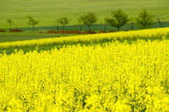 Canola field. A blooming canola field with single trees and some earth heaps in the background. With space for copy royalty free stock photo