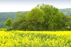 Canola field. A blooming canola field with a clump, of trees amidst. With space for copy stock image