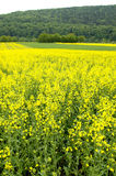 Canola field. A blooming canola field with a forest in the background. With space for copy royalty free stock image