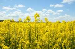 Free Canola Field Royalty Free Stock Photos - 14354008