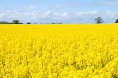 Free Canola Field Royalty Free Stock Photo - 14354085