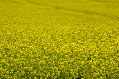 Canola field Royalty Free Stock Photography