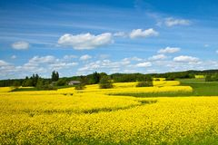 Free Canola Field Stock Photo - 16047260
