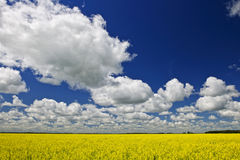 Canola field. Agricultural landscape of canola or rapeseed farm field in Manitoba, Canada royalty free stock images