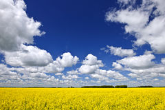 Canola field. Agricultural landscape of canola or rapeseed farm field in Manitoba, Canada Stock Photo