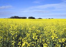 Canola Field 2. A canola field framed against the blue sky Stock Images