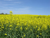 Canola field 2 Stock Photo