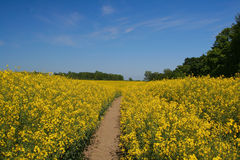 Canola field #2 Stock Photo