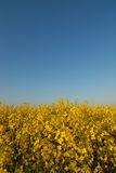 Canola field. Image of a large canola field. Also called oilseed rape, used to produce bio-fuel or bio-diesel stock images