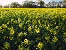 Canola field. A yellow canola field in the evening light Stock Photos