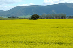 Canola Field. Flowering Canola Field with hills in the Background, Victoria, Australia Stock Images