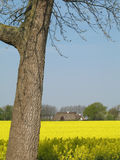 Canola field. At a sunny day in Schleswig-Holstein, Germany royalty free stock photos