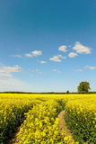 Canola field. Technological track in canola field stock images