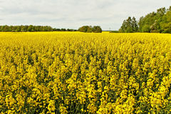 Canola field. Royalty Free Stock Photos
