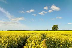 Canola field. Canola field in a sunny day stock photography