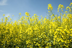 Free Canola Field Royalty Free Stock Photos - 24978558
