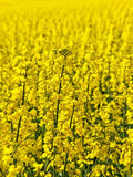 Canola field. Royalty Free Stock Image