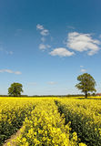 Canola field. Stock Images
