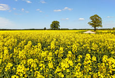 Canola field. Country road at the canola field stock photos