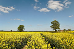 Canola field. Technological track in canola field royalty free stock photos