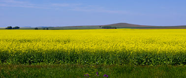 Canola field. Blooming canola field in Northern Kazakhstan Royalty Free Stock Photos