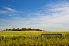 Canola Field. Fence in a Canola field with a grove of trees in the distance Stock Photo