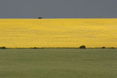 Canola field. In spring, just after the rain Royalty Free Stock Photo