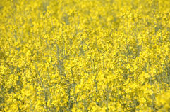 Canola field Royalty Free Stock Photos