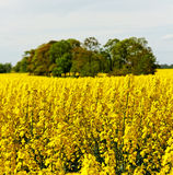 Canola field. Royalty Free Stock Photography