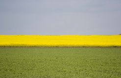 Canola field. Rape, canola field with blue sky Stock Photography