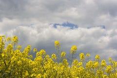 Canola field Stock Image