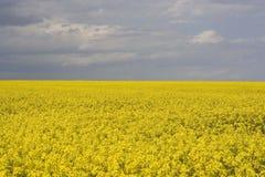 Canola field. Rape, canola field with blue sky Royalty Free Stock Image
