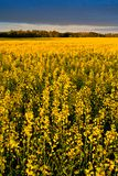 Canola Field. A field of bright yellow canola stock photography