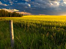 Canola Field. A barbed wire fence protects a canola field during the summer stock photos
