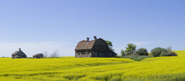 Free Canola Field Stock Images - 42834784