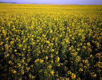 Canola Field. Field of Canola in Montana stock photo