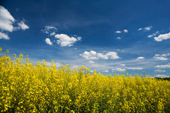 Free Canola Field Royalty Free Stock Image - 5204816