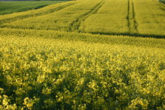 Canola field Stock Photos